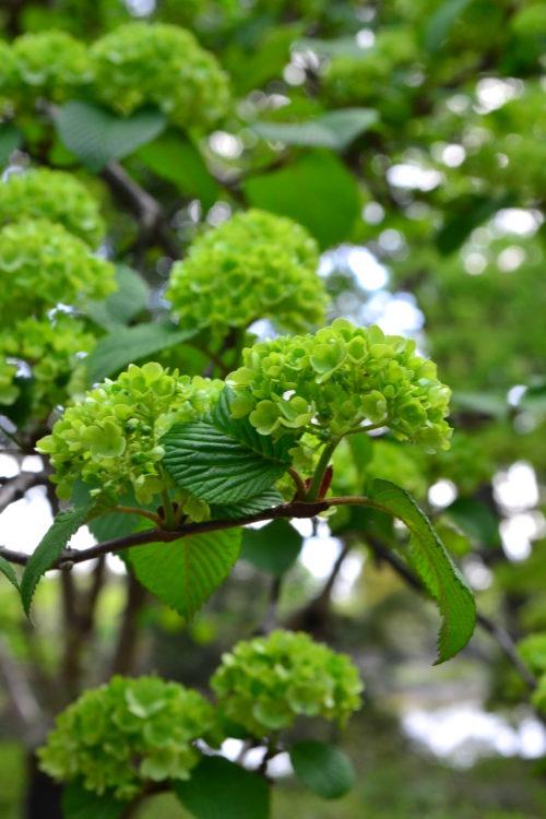 オオデマリの開花は初夏の5月ごろ、ちょうど様々な木々の若葉の緑色が美しい時期に開花します。オオデマリは咲き始めは写真のようなグリーン色、咲き進むにしたがって白に変化します。この色の変わる期間は2~3週間くらいかけて変化していきます。</p> <p>グリーン色は様々な植物の葉の色なので、隣の草花や花木の色との色合いがとても美しい彩りになるのが素敵なところです。そんなことから最近緑色の花はとても人気です。