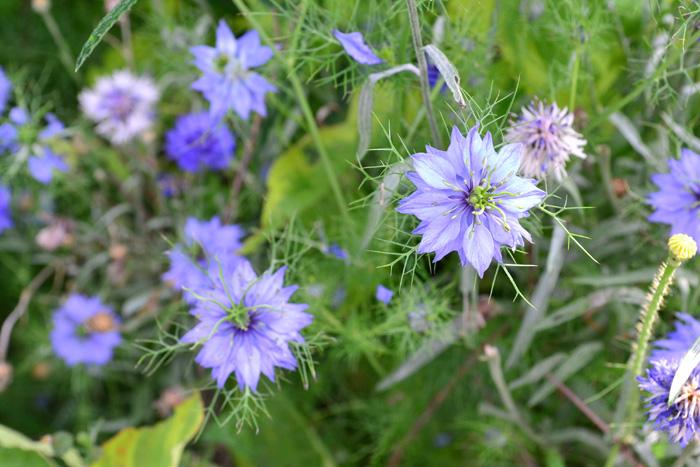 開花時期5月~7月  ニゲラは5月頃から初夏にかけて花が咲く秋まき一年草の草花です。花も葉も独特なフォルムで小さめながら、その雰囲気はとても存在感があります。繊細そうですが性質は強く、環境が合えばこぼれ種でも増えます。花びらに見える部分はがく片で、本来の花びらは退化して目立たない形状です。  ニゲラの和名はクロタネソウ。なぜこんな名前が付いたかというと、花の後につく種の色がゴマのように真っ黒なことからついたようです。  ニゲラという名はラテン語の「Niger (黒い)」からきています。ニゲラの品種はたくさんあり、年々新品種が登場しています。最近では苗ものとしての他、切り花としても流通が増えてきました。花以外に種が入った実の状態でも出回っています。