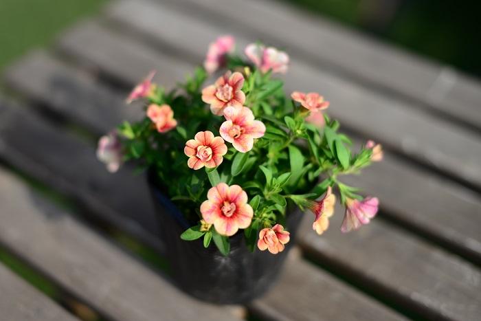 カリブラコア ティフォシーアンティークシリーズ ナス科 半耐寒性一年草 開花期:4~10月  八重咲のアンティークカラーのカリブラコアです。  日なたと水はけのよい用土を好みます。伸びすぎたら半分に切り戻して追肥すると再び開花します。ペチュニアと同じく長雨にあたると花が傷みやすいので、梅雨など雨が続く時は屋根のある場所に移動させて育てましょう。