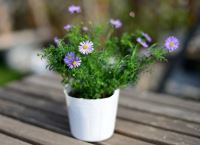 ブラキカム ヘブンリーブルー キク科 耐寒性多年草 開花期:3~11月  日なたと水はけのよい用土を好みます。若干高温多湿に弱いですが、丈夫で病害虫にも強くあまり手のかからない多年草です。耐寒性には優れますが、霜にあたらないように注意しましょう。