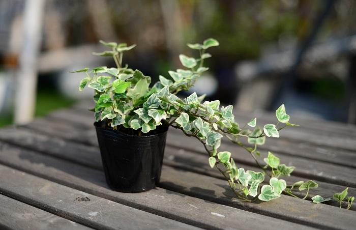 アイビー ウコギ科 耐寒性木本 観賞期:周年  本来は日なたを好みますが、耐陰性が強く室内から戸外まで育てられます。根をくずして定植する場合は夏を避けます。とても丈夫で育てやすく、挿し芽でふやすことができます。
