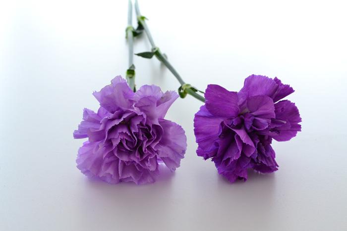 開花時期 4月後半~6月、10月~11月  5月の花と言えばカーネーション。カーネーションは5月の第二日曜日の母の日に贈る花の代表的な存在です。  切り花としては1年中流通していて、一茎一花で大輪のカーネーションとスプレー咲きのものがあります。切り花のカーネーションの色のバリエーションはとても多く、最近は複色カラーのカーネーションも多数流通しています。鉢物のカーネーションは、最近は四季咲き性のあるものが多く流通しています。