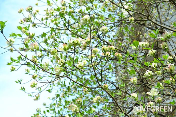 開花時期 4月~5月  桜が開花し終わった時期に花を咲かせるハナミズキ。5月の花木は?と聞かれるとハナミズキをあげる方も多いのではないのでしょうか。ハナミズキは北米原産でアメリカを代表する花のひとつで、春にたくさんのかわいい花を咲かせ、別名「アメリカヤマボウシ」と呼ばれています。花の見ごろは4月から5月にかけてです。落葉樹として知られているハナミズキですが、高さは10m前後まで生長します。分布も全国各地で、街路樹や家のシンボルツリーとして、庭木としてもよく目にします。私たちが花びらと思っているのは花ではなく、葉が変形した総苞(そうほう)です。実際の花びらは総苞よりも中央にあります。ハナミズキは新緑の季節の5月に開花し、ツツジやサツキの鮮やかなピンク、落葉樹の青葉などとあわせて、5月の風景に欠かせない花です。