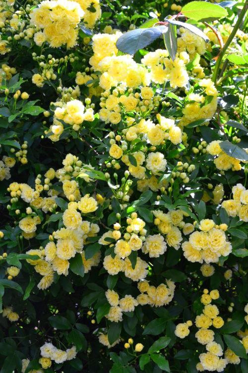 花の時期 4月~5月  モッコウバラは中国原産の薔薇の原種のひとつですが、ほとんどがトゲのない品種なので扱いやすく人気があります。強健で日本のような高温多湿の環境でも病気の心配が少なく、育てやすい花木です。バラの中ではいち早く4月上旬ごろから咲き始める一季咲きです。