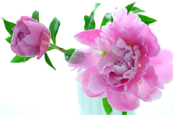 開花時期 5月~6月  シャクヤクは5月~6月の初夏に咲くボタン科の多年草の花です。和名では「シャクヤク」、英名では「ピオニー」と呼ばれています。シャクヤクは中国北部、シベリア南東部、朝鮮半島などに自生し、中国では古くから栽培されてました。シャクヤクは薬用植物として知られて、江戸時代からは「茶花」として、観賞用になりました。その後改良され、品種、形、色の種類も豊富にあり、鉢花、切り花としても人気が高い花です。  バラも本来の開花時期は初夏ですが、バラの切り花は通年出回っているのに対して、シャクヤクの切り花は出回りは主に5月~6月の開花時期の季節にだけ出回る花材です。開花したときの何とも言えない美しさから、芍薬はウェディングブーケの花材にもよく使われる花です。  シャクヤクの魅力と言えば開花した時の華やかさ!つぼみの時からは想像もできない大輪になる花姿がとても人気です。華やかな庭の彩りに、存在感のある花あしらいにと、園芸でも生花でもシャクヤクは5月を代表する花です。
