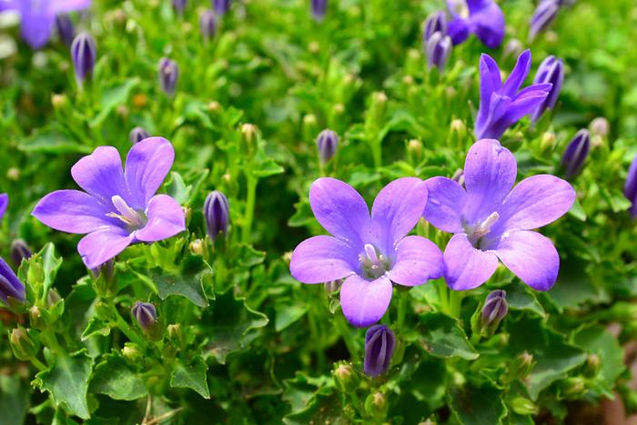 開花時期5月~7月  カンパニュラは、キキョウ科の宿根草で、温帯地から冷帯地まで広く分布しています。カンパニュラとはラテン語で「釣鐘」を意味します。和名の「風鈴草」、別名の「釣鐘草」も、花の形が釣鐘に似ていることから名付けられました。  カンパニュラはたくさんの品種があり、矮性で20センチほどのものから、1m以上の丈まで様々です。また、多年草のカンパニュラもあれば、1・2年草のカンパニュラもあります。