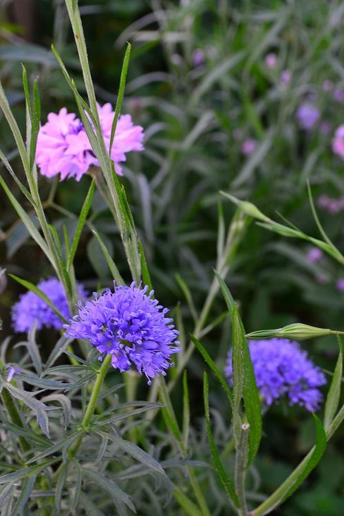 開花時期5月~7月  ギリアはハナシノブ科の一年草。品種によって花の形や花丈などが若干違いますが、いずれも5月ごろから開花する草花です。ギリアのどの品種も花丈は40~50センチくらいにはなるので切り花としても利用できます。最近は花市場でも数品種のギリアの切り花が流通しています。