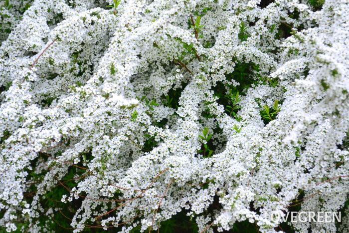 ユキヤナギ(雪柳)の植え付け場所 ユキヤナギ(雪柳)はやせ地でも育つ庭木です。数年すると横幅が大きくなる植物のため、地植えで育てるのが一般的です。植える環境は日当たりがよく、風通しのよい場所がベストです。