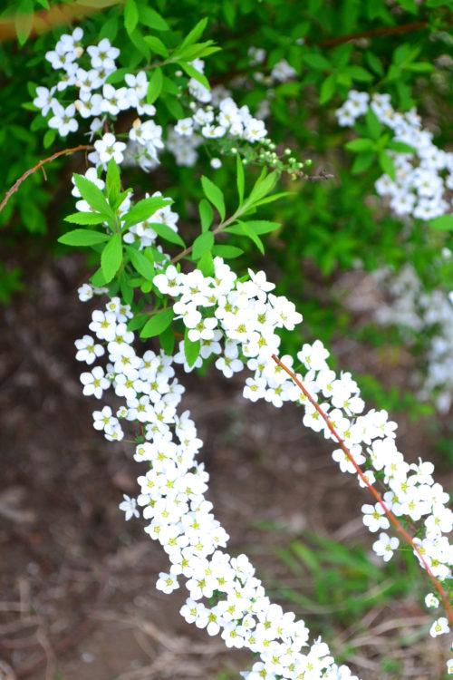 雪柳の花は4月に開花します。ひとつの花はとても小さなかわいらしい花ですが、枝垂れるように生長する雪柳の枝一面に花が咲く光景は「雪柳」という名前ぴったりの美しい姿です。花は切り花としても豊富に流通しています。