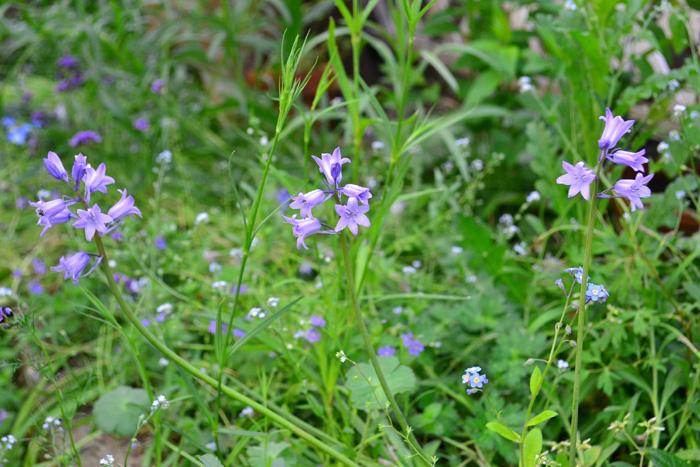開花時期5月  シラーは秋に植えて翌年4月~5月ごろに咲く球根花です。色は青紫、白、ピンクの3色があります。花の形はつり鐘状(ベル型)で、目立つ花ではないですが、ひっそりと咲く花姿が、ガーデナーには密かな人気のある球根花です。シラーは別名「ブルーベル」とも呼ばれています。シラー・カンパニュラータは、切り花でも5月の短期間流通しています。