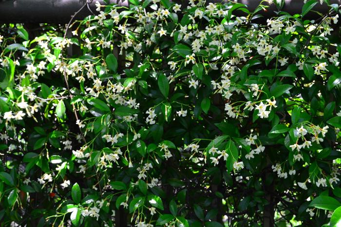 開花時期5月~6月  テイカカズラは、5~6月の初夏に一重の清楚な花をたくさん咲かせる香りもよいつる植物です。性質がとても丈夫なため、街路樹などにも使われることもあります。グランドカバーで人気のハツユキカズラはテイカカズラの園芸品種です。