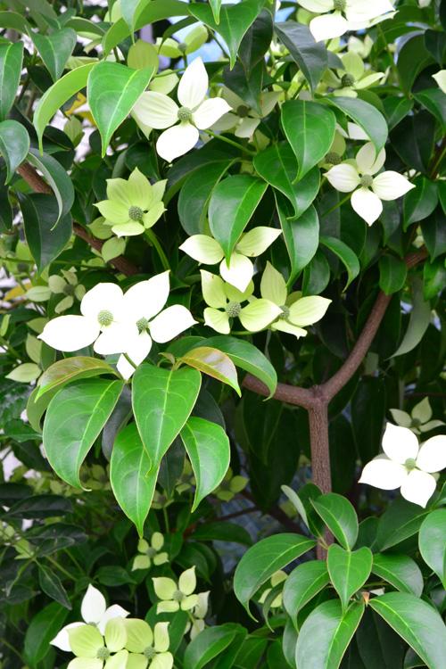 ヤマボウシはミズキ科の落葉高木。似た花でハナミズキがありますが、ハナミズキが5月に開花するのに対して、ヤマボウシはそれより遅い6月~7月に咲く花です。白い花のように見える部分は総苞(そうほう)と言って、ハナミズキの花に見える部分同様、葉が変化したものです。ヤマボウシは葉が開いてから開花しますが、ハナミズキは葉が出るより前に開花するので、花が咲いている時期の趣が少し違います。