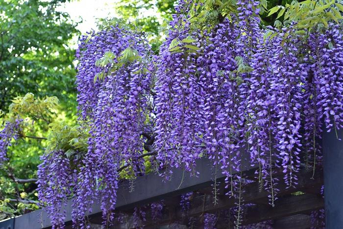 開花時期 4月~5月  フジは古くから振り袖姿の女性に例えられるように、優雅で柔らかい印象を与える花です。日本全国に有名な藤棚があり、5月のゴールデンウィークの頃に美しく開花した藤棚がニュースなどで紹介されます。垂れさがるように咲く藤の美しい花姿もさることながら、藤の香りも魅力のひとつではないでしょうか。初夏のキラキラとした光と青葉の中で、美しく咲き誇った藤の花を見ると、ついつい近寄って香りをかいでみたくなるものです。フジと言って思い浮かべるのは、淡い紫色ですが、たくさんの園芸品種が存在し、色も白やピンクなどもあります。