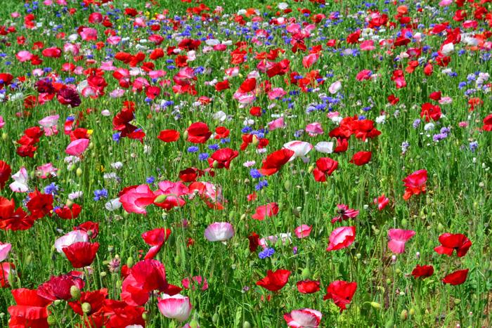 開花時期 4月~7月  ポピーは品種によって開花が始まる時期が違います。5月に咲くポピーは、アイスランドポピーは4月中旬~5月上旬、シャーレーポピーは5月中旬~下旬見ごろに見頃を迎えます。(年の気象によって開花時期は異なります)  ゴールデンウィークのころには、一面に咲き誇るポピーを楽しめる公園が、日本全国に何か所もあります。ポピーは1株で植えてもかわいい花ですが、広い空間にたくさんの数のポピーを植栽したポピー畑の光景はとても見事なので、機会があれば見に行かれてはいかがでしょうか。  ポピーは、花だけでなく、つぼみ、花が開花する瞬間、満開時、花びらがちって種ができ始めた時と、それぞれの形がユニークなので、機会があったら花以外のフォルムにも注目してみてください。