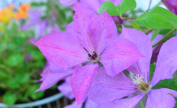 開花時期 通年(品種によって開花時期が違う)  クレマチスは系統によって、花の形、開花時期、剪定方法が違います。加えてツル性が多いですが、木立性のものもあったり、落葉性もあれば常緑性のものもあります。多種多様すぎるところ、これがクレマチスの特徴だとも言えます。5月はたくさんの系統のクレマチスが咲く季節で、最近では母の日の贈り物としてもクレマチスの鉢植えは人気があります。