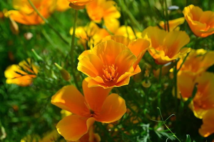 開花時期5月~7月  カリフォルニアポピーは、別名花菱草ともいいます。ポピーと同じケシ科の花ですが、花の形は、ポピーとは、まったく違う花姿です。花色は定番のオレンジの他、クリーム色、アイボリー、アプリコット、赤、ピンクなど年々新品種が増えています。花の咲き方は、一重の他、八重咲き種もあります。カリフォルニアポピーは、お日様とともに花が開き、夜は花が閉じます。晴れた日にキラキラした花びらがお日様に向かって咲く花姿は、とても見事です。カリフォルニアポピーは、広い空間の花畑などにも使われることがあります。