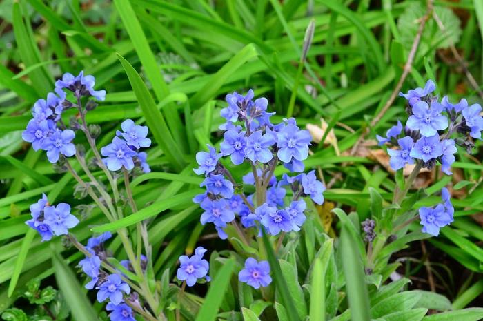 開花時期5月~7月  シノグロッサムは和名ではシナワスレナグサ、英名ではChinese forget-me-notとも言われています。ムラサキ科の一年草で、開花期は5月~6月で、忘れな草より少し後に開花します。品種もたくさんあって花丈は30㎝~50㎝くらい、ワスレナグサより少し背丈が高くなる草花です。  写真の水色の他、白、ピンクなどもあります。水色のタイプは、とても透明感のある水色です。環境に合えばこぼれ種で増えるほど性質は強い草花です。品種によっては多年草として分類されていますが、ワスレナグサと同じく高温多湿が嫌いな植物なので、日本では一年草として扱われています。  ワスレナグサとの見分け方は、少し花が大きいのと花の色が単色(ワスレナグサは中心が黄色)、葉っぱの色はワスレナグサが若緑色なのに対して、シノグロッサムはシルバーグリーン色です。