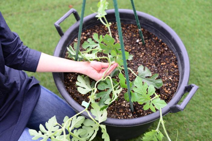 小玉スイカはウリ科スイカ属のつる性の植物で、葉は大きく切れ込みが入った形をしています。他のウリ科の野菜と同じように、1株に雌花と雄花が存在する雌雄異花(しゆういか)の植物です。  そのため小玉スイカの主茎は親づると呼ばれます。親づるから伸びるつるを「子づる」、子づるから伸びるつるを「孫づる」と呼びます。