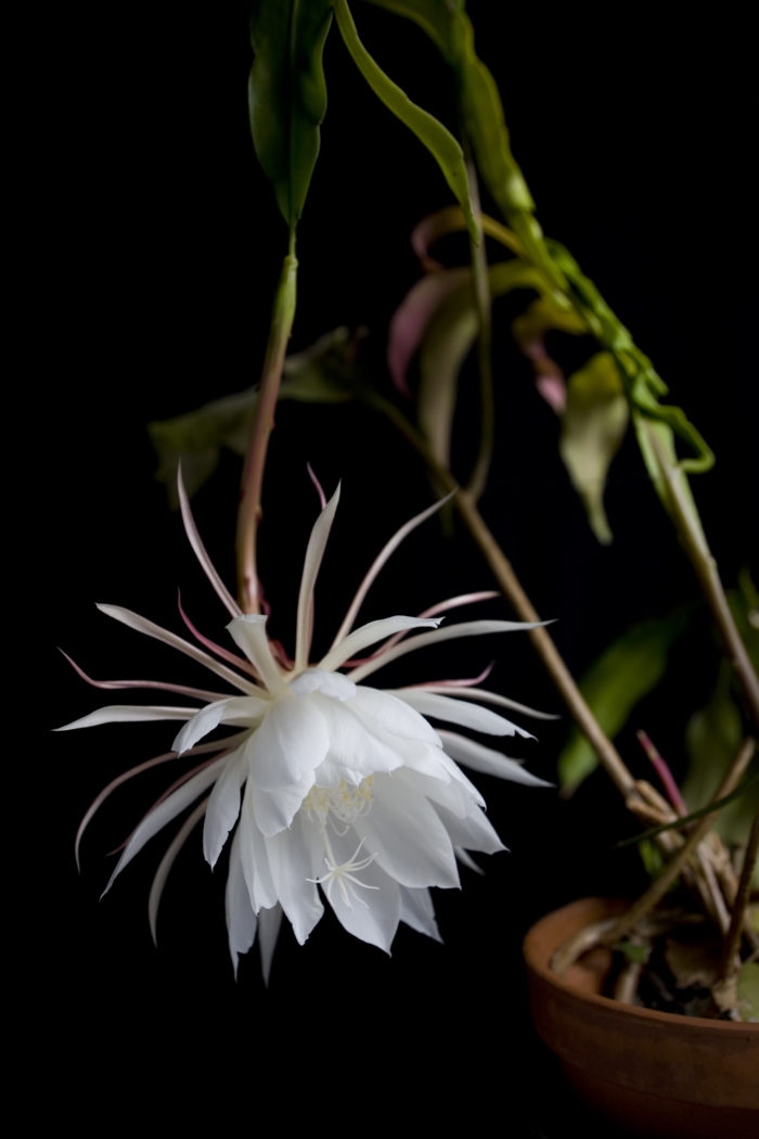 ■学名 Epiphyllum oxypetalum  ■和名 月下美人  ■別名 月来香  ■サボテン科クジャクサボテン属  ■常緑多肉植物  ■原産国 メキシコの熱帯雨林  月下美人は、サボテンの仲間ですが森林性サボテンといって熱帯雨林に自生するサボテンです。  葉は昆布のようなひらたい形をした茎をしていて長さが1m~2mに達すると花芽をつけ始めます。  真夏の夜に2時間ほど神秘的で美しい花を咲かせます。  花は大きく(20cm~25cm)存在感があり純白の少し透けた花びらをしています。  香りはジャスミンに似た甘くすっきりした香りで10m離れた場所まで香りを漂わせ咲いた事を伝えます。香りは辺りにいる動物達に伝わり、自生地ではフルーツを食べるコウモリを誘い受粉をさせて、個性的でショッキングピンクの皮で実は真っ白な果実を実らせます。