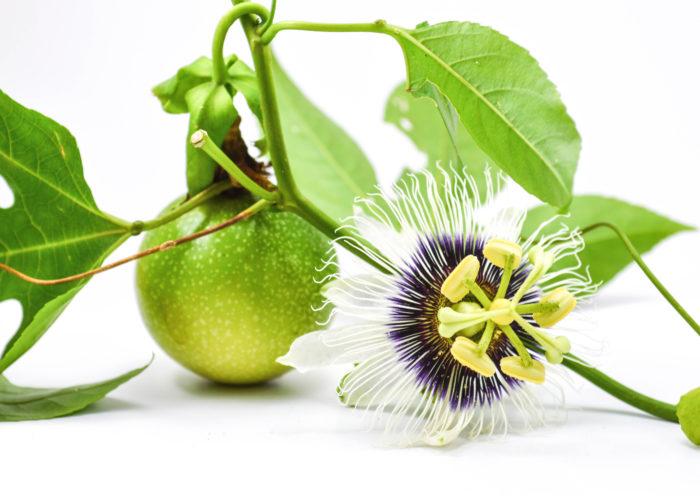 ■学名 Passiflora edulis ■和名 クダモノトケイソウ(果物時計草) ■英名 パッションフルーツ ■科名 トケイソウ科トケイソウ属  ■常緑蔓性木質多年草  ■原産国 ブラジル  パッションフルーツはブラジル原産の亜熱帯地域から、1700年半ばから1800年頃に日本に渡ってきたと言われています。パッションフルーツが育つ気温は20℃~30℃の為、日本では明治時代から育成され始め、鹿児島の奄美大島や沖縄で栽培が盛んな果実です。最近は品種改良等が進み、関東などでも育つパッションフルーツも出来てきたようです。耐寒温度は3℃、気温が下がる地域では冬の間のみ霜が当たらない室内で育てれば通年育てる事が出来る植物です。  蔓性の多年草で、蔓は年数を重ね古くなるとの木の様に硬くなってきます。  葉は光沢があり10㎝~20㎝程で光沢があります。形は若い時期はたまご型をしていますが年数がたつと、葉の形が変わり先が3つにわかれます。  葉の付け根の部分から、ねじれた髭のような蔓を出してよじ登ったりします。花は6月頃と9月頃に6㎝~8㎝程の一度見たら忘れない様な、とても個性的な形の花を咲かせます。果実は7月~8月と10月~11月に出回ります。形は卵型をしていて濃い紫色の果実です。  独特な香りは南国を思わせ味は甘酸っぱくゼリー状で種も一緒に食します。  寿命は7~8年程で挿し木や種を蒔き増やすことができます。