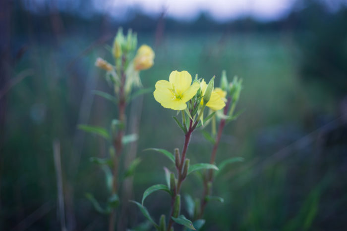 待宵草(マツヨイクサ)は月見草と同じマツヨイグサ属の植物ですが、江戸時代後期から明治時代初期に同じ時期に園芸種として日本へ渡ってきました。待宵草の方が繁殖力が強く、国内各地に月見草よりも早く広まり野生化し、繁殖力が弱かった月見草は一度姿を消してしました。  その後、待宵草を月見草と呼ぶ方が増えたようです。色も黄色をしていて月をイメージしやすかったのかもしれませんね。  月見草が印象的に描かれた、文学作品で太宰治の「富嶽百景」の中に出てくる名句の「富士には月見草がよく似合ふ」の描写で太宰治が見た月見草も「黄金色をした」という表現から、月見草ではなく待宵草ではないだろうか?と言われています。  待宵草も月夜が似合うロマンチックな様子をしていてどちらも繊細な花びらと夜に咲き一夜で萎んでしまう花を咲かせます。