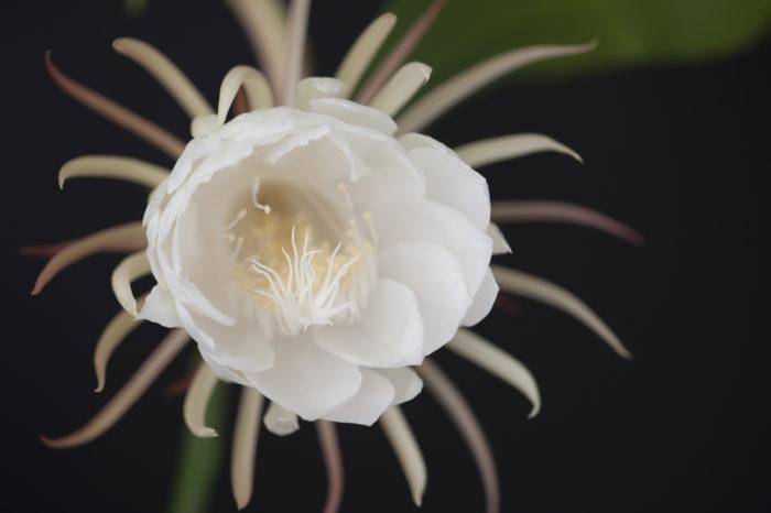 月下美人は別名の「月来香」からも伝わるように、ジャスミンに似たスッキリと甘い香りを夏の夜に漂わせます。  月下美人はその香りの魅力は香水にされるほどの芳香です。花の蕾は5時間~6時間かけて咲き、満開に咲いた時に急に香りを漂わせて辺りに咲いた事を伝えます。開花はその香りも美しさも2時間ほどで満開をむかえて萎んでしまいます。  萎んだ花は乾燥させて、お茶として楽しむことも出来ますよ。