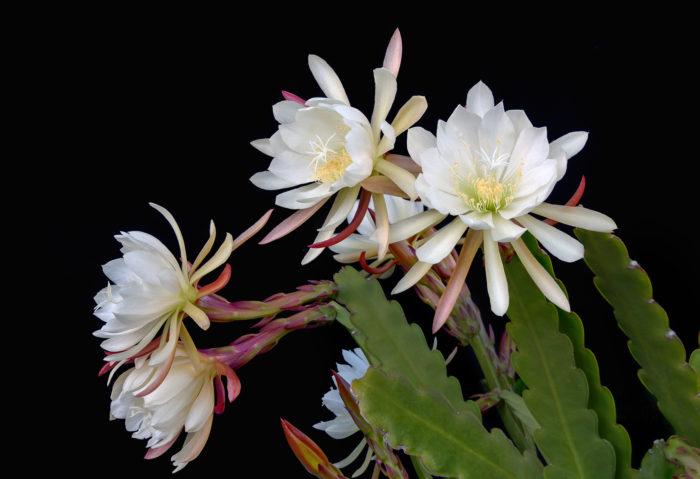 置き場所 原産地が熱帯の地域の為、極端な寒さには弱い植物です。  7℃以下だと枯れてしまいますので、冬の寒い季節11月頃から4月上旬までは室内で育てるようにしましょう。冬の間は暖かい場所に置くと、5月から10月までのあいだは直射日光の当たる場所に置くと良く育ち花を咲かせます。  管理 春から開花までの季節の成長を良くするためには、冬の間も暖かい場所に置く必要があります。室内の温度を上げる加温をするとより、うまく成長します。  水あげ 原産地が熱帯雨林の多肉植物の為、砂漠地帯のサボテンのような極端な乾燥を嫌います。土の表面が乾いたらたっぷりと与える様にしましょう。  用土 鹿沼土や赤土など、水はけがよい用土がてきしています。  肥料 肥料は種類が重要で、株を育てる為にカリウムやリンが多い肥料を成長期の4月~10月に2ヶ月に一度あたえましょう。  増やし方 月下美人は挿し芽(挿し木)によって増やす事が出来ます。  1.葉を30cm程、カットしてカットした表面をかわかします。  2.植木鉢に土を準備します。土は細かめの赤土か鹿沼土などの水はけが良く吸水性の良い土を準備します。  3.その土に水を含ませて、植木鉢内を安定させます。その土へ1cm程埋め込みます。  病気と害虫 カイガラムシが付きやすく、月下美人は1度虫がつき、ダメージを受けた部分は回復しない為、カイガラムシが付かないように消毒をして予防しましょう。ついてしまった場合は取り除き、損傷部分を早めにカットしましょう。