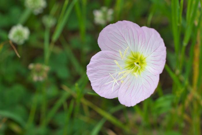 種まき 花が咲き終わり、秋になり種を取ります。種は冷蔵庫などで保管して下さい。  種をまく時期は2月~3月にまきます。  植木鉢に土をいれて、土の上に種を置きます。種を蒔いたら軽く土をかぶせて水を与えましょう。種をまいてから2年後に花を咲かせます。  置き場所 日当たりが良く水はけが良い場所を好みます。日陰ではうまく育ちません。  庭植えをする場合も日当たりの良い場所を選び、土を高く盛るようにして水はけの良い環境をつくりましょう。  用土 園芸店などで扱われている草花用の培養土で良く育ちます。水はけが良ければ土質はどんな土でも育ちます。  肥料 肥料は草花用の肥料を春から夏にかけて少量施します。  多く与えすぎても枯れたりする事はありませんが、葉や茎ばかりが育ちすぎて花が咲きにくくなります。  水やり 土の表面が乾いたらたっぷり与えます。  庭植えの場合は晴天が続かない限り与える必要はありませんが、乾燥した日が続く場合は様子を見て与えましょう。  病気と害虫 病気にはほとんどかかることはありませんが、害虫が付く事があります。  アカバナトビハムシの仲間が発生しやすく、春から秋まで葉を食べてしまいます。ハムシの幼虫は茶色をしていて、成虫は黒く丸みを帯びた虹色のつやのある3mm程の甲虫です。  ハムシの仲間は銀色やキラキラしているものを嫌う為、シルバーマルチを巻いたり、アルミ蒸着シートを敷くと予防できます。