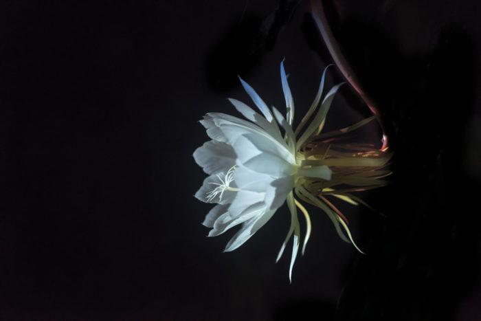 「月下美人」の美しく、まるで詩のような名前は印象的で神秘的です。  この文字を目にしただけでも、一体どんなお花を咲かせる植物なのだろう?と興味がわいてきます。  その名前の印象からか、いつしか月下美人は1年に1度だけ満月の夜になると花を咲かせる、或いは新月の夜に花を咲かせて、数時間で儚く萎んでしまうというお話が広まった様です。  美人薄命を思わせる儚いイメージがついてまわりますが、何だかロマンチックで愛おしいお話ですね。  しかしながら、実は満月の夜に咲くとか新月の夜に咲くというのは俗説で、夏の夜、その日が満月ではなくても咲きます。  それから1年に1度ではなく、その株の状態やお手入れが行き届き条件があうと、1年に2~3回花を咲かせる株もあります。  月下美人の蕾は小さいうちは下を向いていますが咲き始める頃に近づくと、だんだんと蕾が膨らみ上を向いてくるので、そろそろ咲いてくるのかなぁと、花の先が空に向いてくる様子を見ながら花が咲く日を、まだかな、まだかなと待つ楽しみもあります。  華麗な名前を持つ月下美人、満月の夜に咲く姿を静かに眺めてみたいですね。