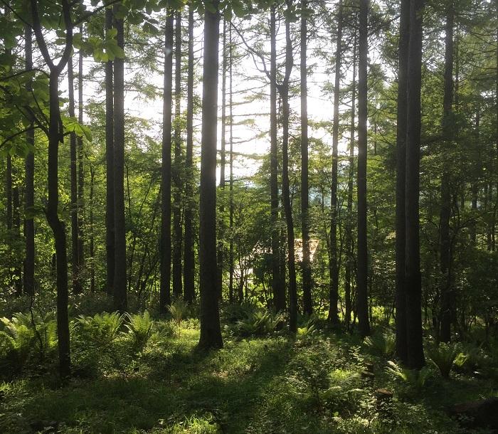 森林浴、という言葉は1982年に林野庁が提唱した言葉です。同年秋に、長野県木曽郡にある赤沢自然休養林(日本三大美林のひとつで、木曽ヒノキが有名)で初めての「全国森林浴大会」が行われました。