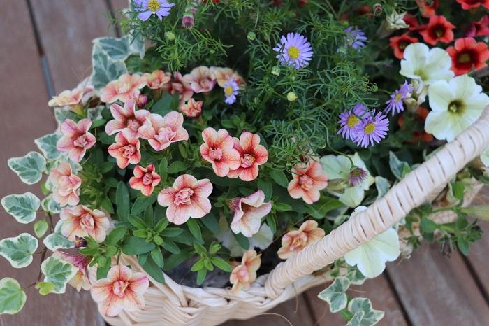 おしゃれな寄せ植えは、1つあるだけでその場を華やかにし、1つの風景をつくることができます。育てる楽しみを持つことができます。また、美しく咲き育つ花と暮らすことで、植物から元気をもらうことができます。ペチュニアは春から秋まで長い期間楽しめる花の代表選手と思います。おしゃれなペチュニアの寄せ植えは、ご自宅用はもちろん、プレゼント用にもおすすめです。