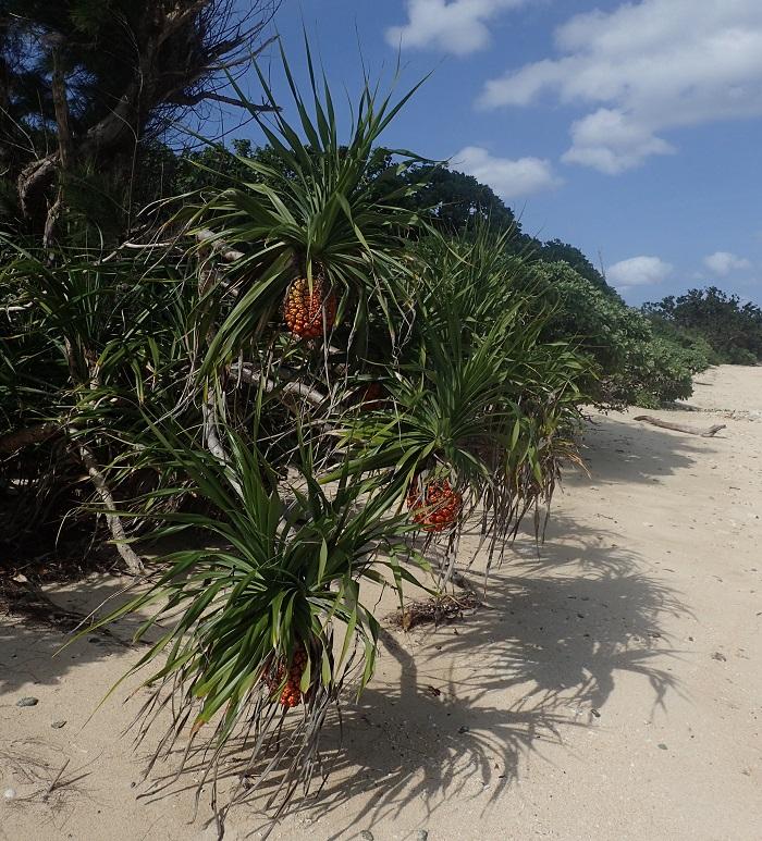 写真提供:長嶋祐成 石垣島のアダン。海岸沿いににょきにょきと生えています。