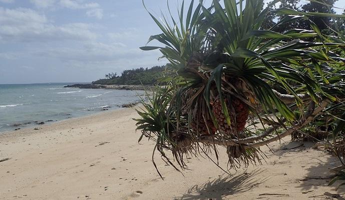 写真提供:長嶋祐成 アダンの実もパイナップルに似ています。  日本の小笠原諸島や沖縄など、一部の場所で見ることができる種類もあります。水辺の環境を好んで生えますが道路沿いなどでも育ちます。パイナップルによく似た球形の実をつけます。種子は繊維に覆われていて、水の上を漂って移動して、流れ着いた場所で発芽し、子孫を残していくという戦略を持った植物です。