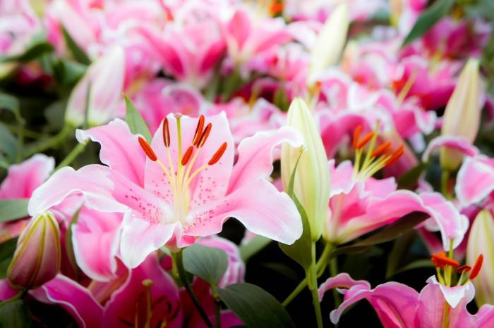 世界中で愛されているユリは、日本に多く自生する花です。シャクヤクやボタンと同様に、美しい女性を形容する花でもあります。品種も豊富で、色も白だけでなく、ピンク色や明るいオレンジ色などがあります。