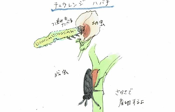ハバチのなかでも、バラを食害してしまうチュウレンジハバチはバラを育てている方にとっては天敵と言ってもよい害虫です。腹部は黄色く、黒っぽい羽が特徴で、産卵管を茎に突き刺し卵を産み付けます。産卵された茎は、やがて縦に避けていくため、見ればすぐにわかるようになります。発生時期は5月ごろから10月ごろですが、年3,4回発生します。卵から孵化して30日間の幼虫期間で、バラの苗が丸坊主になってしまうほどの食欲を見せます。  若齢幼虫のうちは、集団で葉を囲んで食べつくしてしまいます。成虫が卵を産み付けるのは今年伸びた枝(シュート)です。おそらく枝が柔らかく、産卵がしやすいものと思われます。