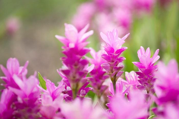 クルクマはすーっと真直ぐに伸びた茎の先に、ピンク色や白のたいまつのような蓮のような可憐な花を咲かせます。実はこの花に見えている部分は花ではなく包葉(ほうよう)といって、花を包んでいる葉です。この包葉のなかに小さな小さな薄紫色の花を咲かせます。花はとても小さくて目立たない上に花期も短いので、花が咲いていることに気付かない人も多いでしょう。  包葉が花のように美しく観賞価値があるので、一般的にはこれを花と同じように扱っています。切り花や鉢植えなどで楽しまれているものはすべてこの包葉です。