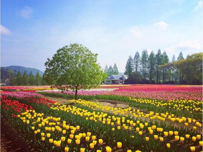 世羅高原農場では、「虹の畑」、「パレットの畑」、珍しい品種が集められた「見本園」など豊かに咲き誇るチューリップが私たちを迎えてくれます。毎年テーマが異なるチューリップの花絵は、今年は「花鳥風月」がテーマとなっています。15,000㎡に20万本のチューリップを使った日本最大のチューリップの花絵が私たちを楽しませてくれます!