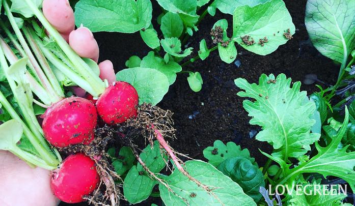 ベランダ菜園に初めて挑戦したいと考えている方に、一番おすすめな野菜といえばサラダにピッタリな真っ赤なラディッシュです! 別名「二十日大根」とも呼ばれるラディッシュは発芽率も良く、種をまいてから1ヶ月前後で収穫することができます。可愛い双葉が土から顔を出し、少しづつ赤いラディッシュに生長していく様子を観察できるので愛おしさも倍増です。