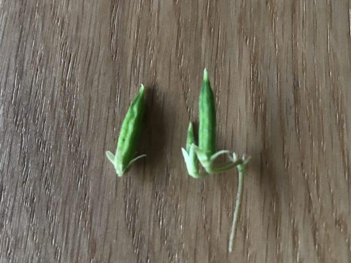 種は1.5cm~2cm程の長さでオクラの様な形をしています。  熟れてくると実が膨らみ、風などで隣の葉がとぶつかったり小鳥に触れられたりするとパチンと弾けます。  熟れて膨らんだ実を見つけたら、指で触れてみるとパチンと種を飛ばす様子がユニークです。