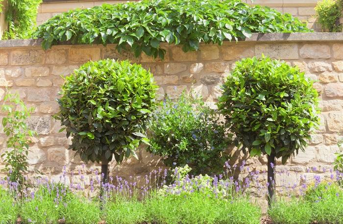 月桂樹という植物の基本情報です。  月桂樹 科名:クスノキ科  学名:laurus nobilis  分類:常緑中高木  原産地:地中海沿岸    原産地は地中海沿岸ですが、日本の気候でもよく育ちます。庭植えでも鉢植えでも管理できます。常緑で背も高くなるので目隠しとしても活用できます。  日当たりの良いところでは非常に生育旺盛ですので、伸びすぎたら剪定をしてください。花や結実を楽しむ種類の樹木ではありませんので、剪定の時期にはこだわらなくていいでしょう。トピアリー仕立てにしても楽しめます。  日当たりの悪い場所でも育ちますが、病害虫の被害に合わないよう枝の整理をし、風通し良く管理するようにしましょう。