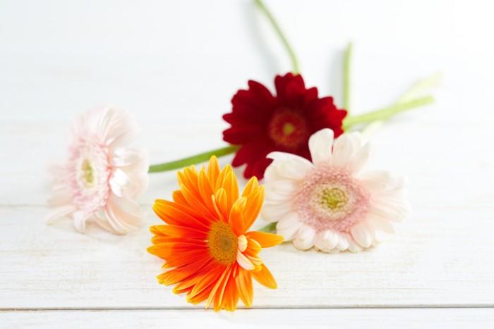 色も豊富なガーベラは、花の姿も華やかで生命力を感じさせてくれ、百寿お祝いに贈るお花にぴったりです。丸い形が明るい気分にさせてくれて、魅力的なお花です。