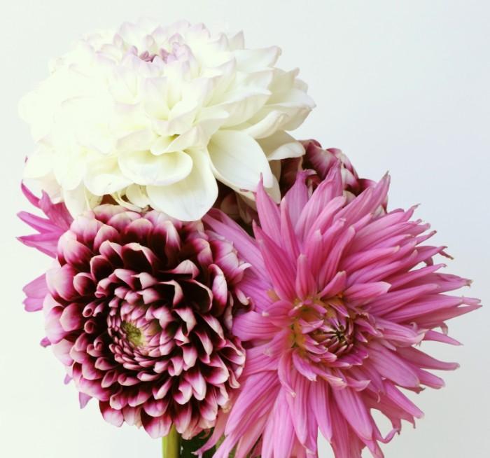 ふわっとして一輪だけでも存在感もあるダリアは、切り花でも鉢物でも人気のあるお花です。花言葉は「華麗」「優雅」。