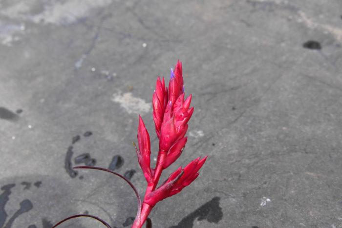 2000年ごろに発見された新種のエアプランツで、カリブ海沿岸に自生しています。プラスチックのような質感で、真っ赤に染まった花苞(かほう)が特徴。 栄養状態が良いと花序が複数に分岐します。