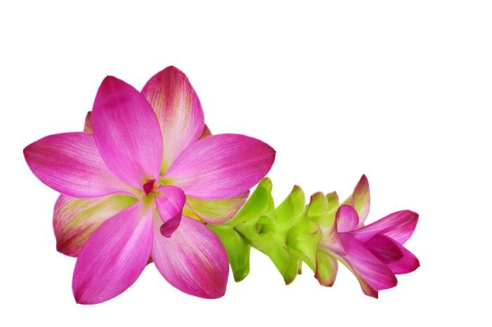 切り花として流通しているクルクマは花の部分が7~10㎝くらいあるものから、3~5㎝程度の小ぶりなものまであります。色もグリーンもあれば、白やピンクと豊富です。真直ぐに伸びた茎の先に何層にも重なった蓮を思わせる花を咲かせるので、横からの姿も美しく、高さを活かしたアレンジメントにしてもきれいです