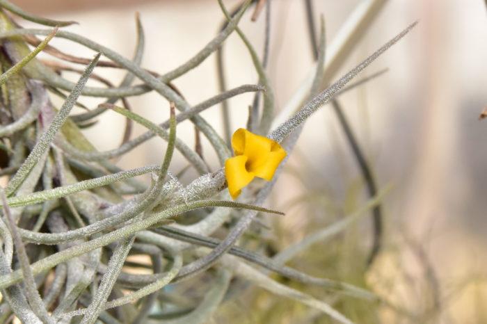極小型種が多く属しているディアフォランテマ亜属に分類されているエアプランツです。 クロカータとは黄色い花と言う意味で、その名の通り綺麗な黄色の三弁花を咲かせます。香りが非常に強く、複数の花が同時に開花すると部屋中がトリスティスの香りで充満するほどです。