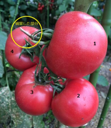 大玉トマトは大きく実を充実させるために、形の悪い実や小さな実を切り取り、目安として1房に4~5個に抑えます。