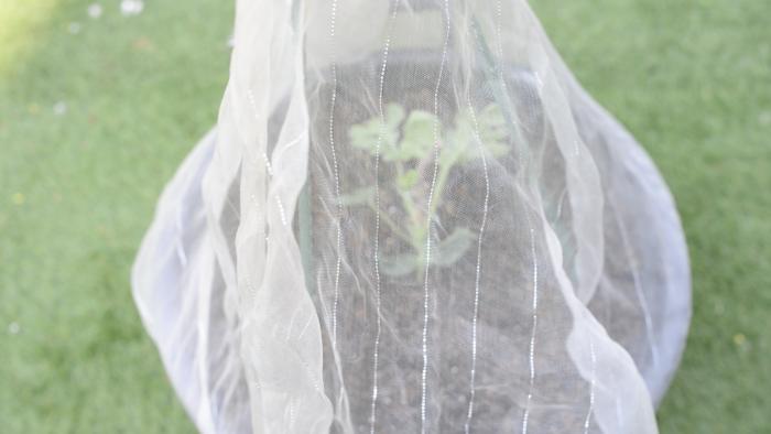 5 まだ苗が小さいので、寒冷紗に入るうちは出来るだけ中に入れて育てましょう。  日中はとても暖かい季節になりますが、日が暮れると気温は下がります。害虫対策だけでなく、寒さ対策のためにもこの時期は寒冷紗の中に入れてあげましょう。