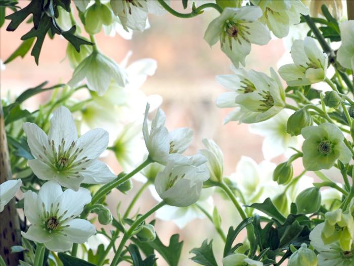 世界のあちらこちらに分布しているクレマチスですが、日本の野生種は「カザグルマ」と呼ばれる真っ白なクレマチス。大きな花を、細いツルの先で咲かせるクレマチスの花言葉は「高潔」。