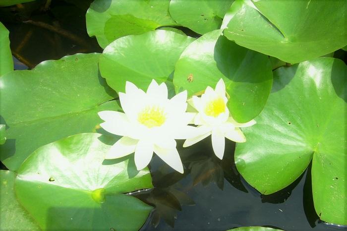 蓮と睡蓮は、同じように池に咲く植物です。お花の形状も似ていますが、似て非なる植物です。よく混同されがちな蓮と睡蓮の簡単な見分け方をご紹介します。次の夏は蓮と睡蓮を得意顔で見分けてくださいね。