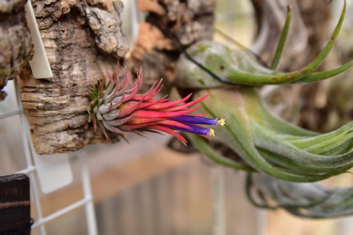 別名イオナンタ・ヘーゼルナッツと呼ばれているエアプランツです。 葉先がすぼみ胴体が丸く膨らんでいるのが特徴で、開花時は通常のイオナンタ同様に真っ赤に葉が染まります。